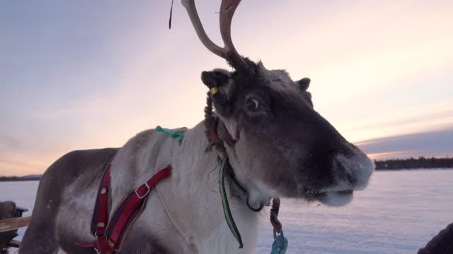 CLOSE UP: Cute renne polaire avec flocons de neige sur la bouche du canon tirant luge en hiver - Vidéo
