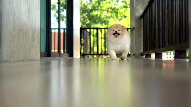 Cute Pomeranian Dog Running to Camera video