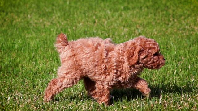 stockvideo's en b-roll-footage met schattige poedel puppy spelen in slow motion - curly brown hair