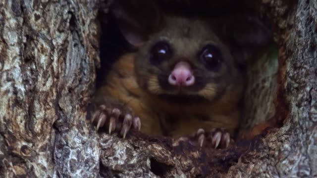 Cute Possum in a tree hole Cute Australian Brushtail Possum staring to the camera from the hollow of a tree. (den tree) mammal stock videos & royalty-free footage