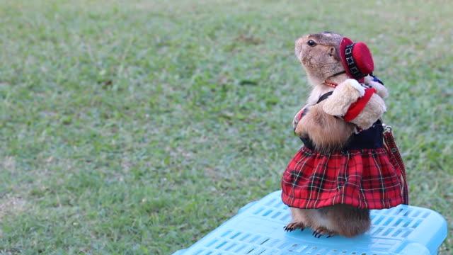 Cute Prairie dog影片