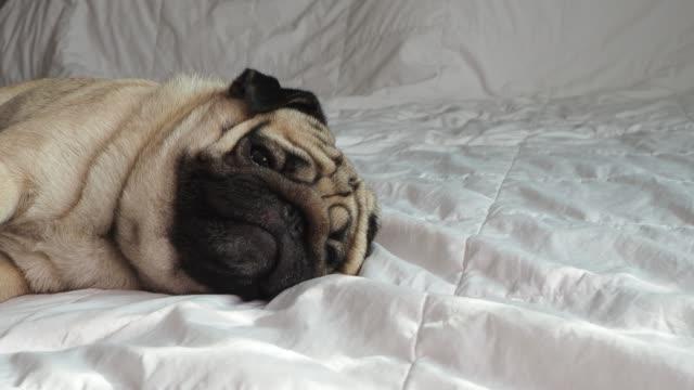 寝室の白いベッドの上に毛布の上に横たわっているかわいいパグ犬の品種は、面白い顔で笑い、朝起きた後、とても幸せを感じる、健康的な純粋な犬のコンセプト - 愛玩犬点の映像素材/bロール