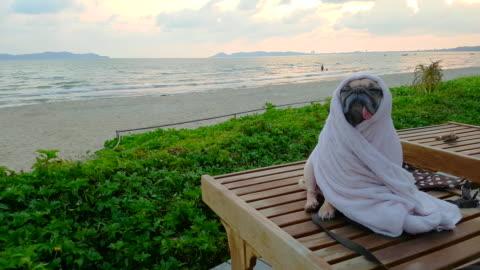 carino cane carlino si asciuga su una spiaggia dopo aver nuotato avvolgere con asciugamano - carino video stock e b–roll