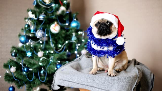 Cute pug dog in Santa Claus hat looking at camera on Christmas tree background. Happy Christmas