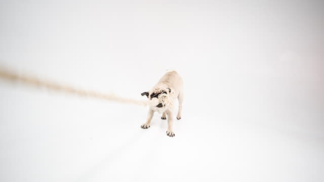 Cute pug video
