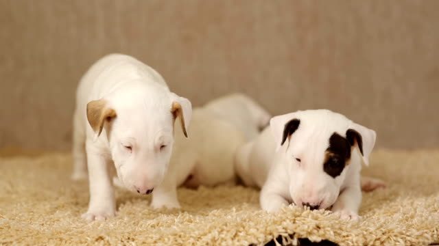 Cute puppies of bull terrier Cute puppies of bullterrier on the carpet posing for camera terrier stock videos & royalty-free footage