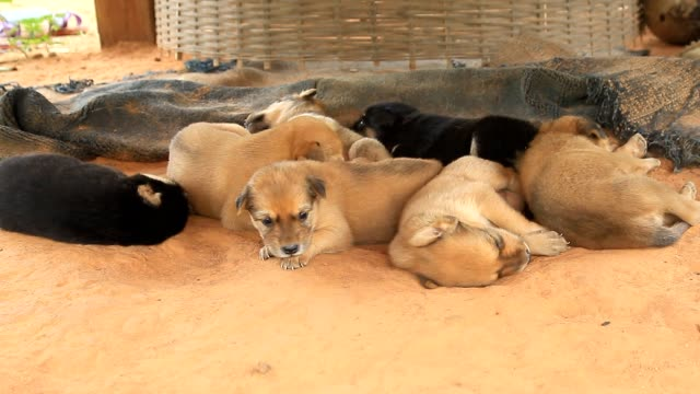 vídeos de stock, filmes e b-roll de filhotes de cachorro cute dormindo em um terreno. - largo descrição geral