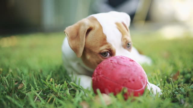 Cute puppy eating grass and playing with ball.  American Bulldog video