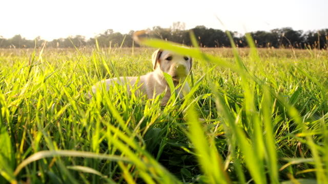 LA Cute Puppy In The Grass video