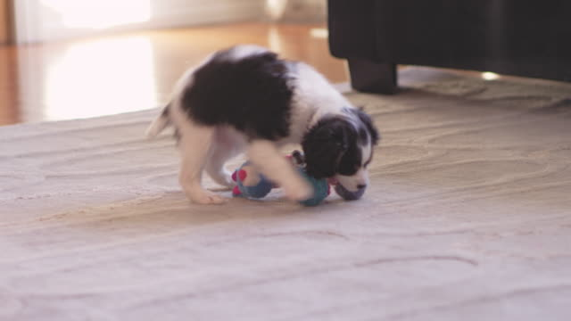cute puppy running towards his chew toys. he then picks up his tennis ball. - zabawka filmów i materiałów b-roll