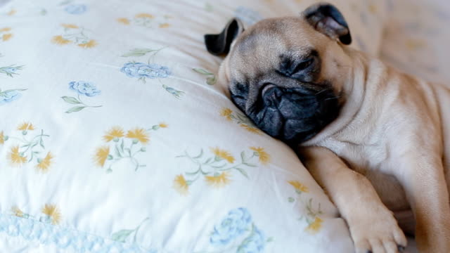 Cute puppy the pug sleeping in the bed video