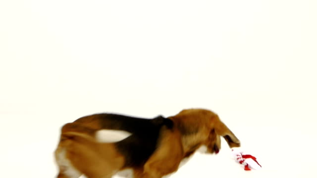Cute puppy with red ribbon. Slow motion video