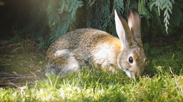 das süße kaninchen frisst das gras in einem morgensonne - hase stock-videos und b-roll-filmmaterial