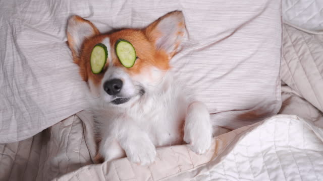 cute red and white corgi lays on the bed with eye maks from real cucumber chips. head on the pillow, covered by blanket, paw up. finally funny dog barks and turns over. - cetriolo video stock e b–roll