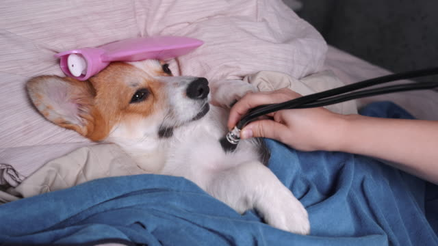 söt röd och vit corgi, sova i sängen med hög feber temperatur, ice vatten påse på huvudet, täckt av en filt, vet auditions en hund med ett stetoskop - pet bottles bildbanksvideor och videomaterial från bakom kulisserna