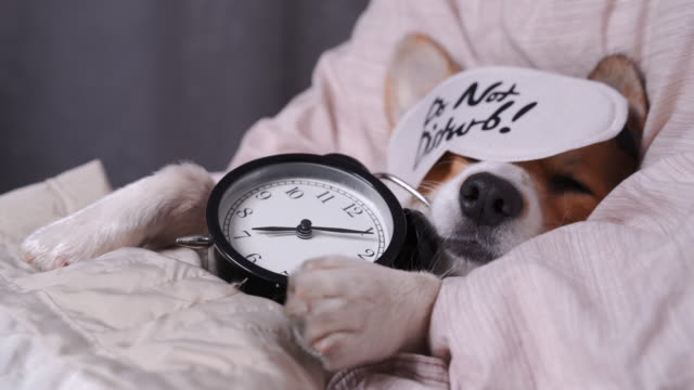 cute red and white corgi sleeps on the bed on its back with alarm clock in paws. head on the pillow, covered by blanket, eyes mask. close up portrait of pretty spoilt dog. - viziarsi video stock e b–roll
