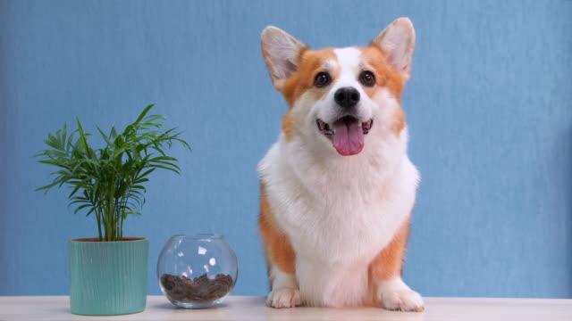 Cute red and white dog of welsh corgi pembroke breed sits on the desk of reception. Funny face expression, smiling friendly dog welcoming the guests.