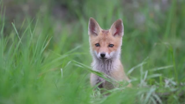 Cute red fox cub stands in the grass and looks at the camera. Vulpes