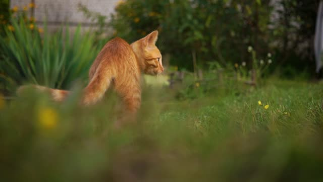 A cute red kitten is played by a pebble on the grass. runs away. Blurry background