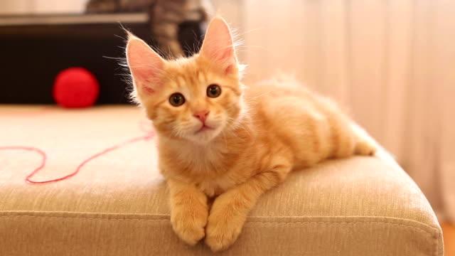 かわいい赤毛のボブテイル子猫。 - 子猫点の映像素材/bロール