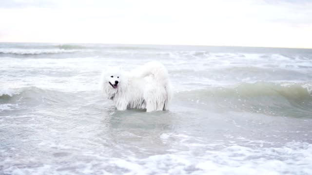 Cute samoyed dog is playing with waves in the ocean or sea. Slowmotion shot video