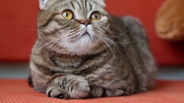 cute scottish fold kitten laying on a sofa at home. - baffo parte del corpo animale video stock e b–roll