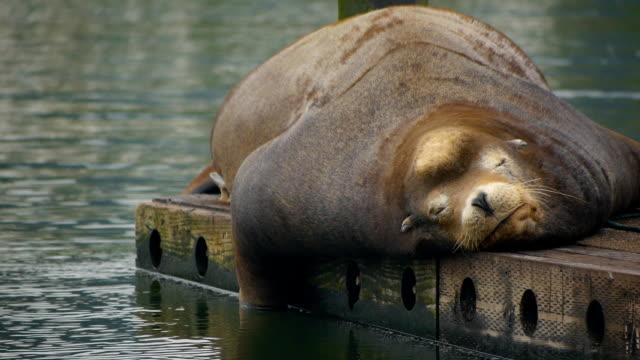 leone marino carina rilassante sul dock - animale video stock e b–roll