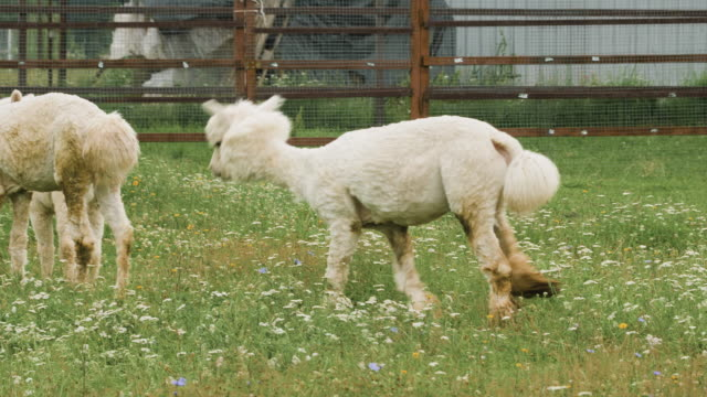 Cute sheared alpaca grazing in the corral and chewing the grass.