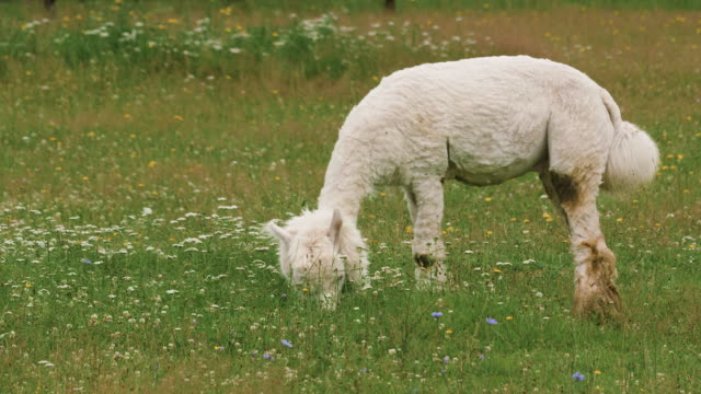 Cute sheared alpaca grazing in the meadow and chewing the grass.