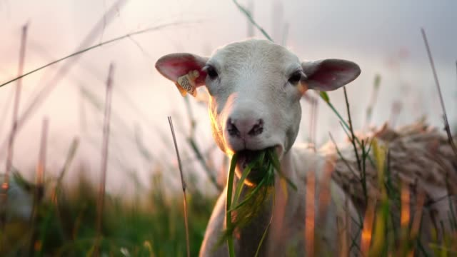 Cute sheep on green pasture. Farm animal portrait.