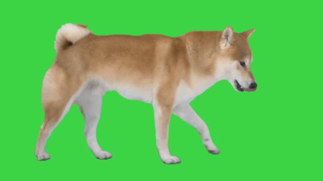 süße shiba inu hund zu fuß auf einem grünen bildschirm, chroma schlüssel - hundesitter stock-videos und b-roll-filmmaterial