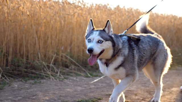 Cute siberian husky walking in front of her female owner along trail near wheat field. Feet of young girl going with her cute dog on leash along road near meadow at sunset. Low angle view Close up Cute siberian husky walking in front of her female owner along trail near wheat field. Feet of young girl going with her cute dog on leash along road near meadow at sunset. Low angle view Close up leash stock videos & royalty-free footage