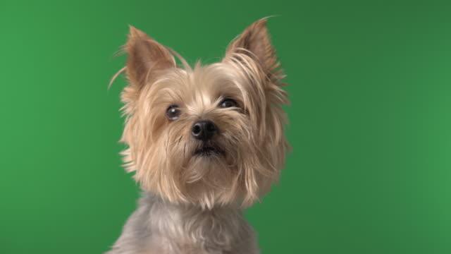 Cute Silky Terrier Pet Dog on Green Screen video