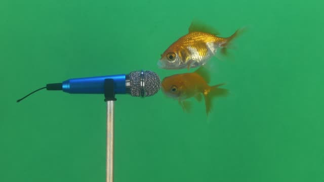 cute singing goldfish video concept. - debate стоковые видео и кадры b-roll