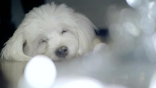 vídeos y material grabado en eventos de stock de lindo perro sleepy - ornamentado