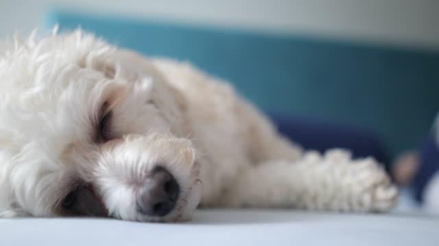 かわいいスリープ犬 - ふわふわ点の映像素材/bロール