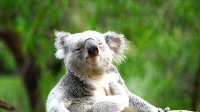 Cute Sleepy Koala bear in Australia