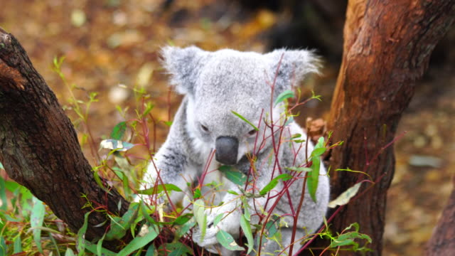 Cute Sleepy Koala bear in Australia Cute Sleepy Koala bear on a branch of eucalyptus tree in Australia oceania stock videos & royalty-free footage