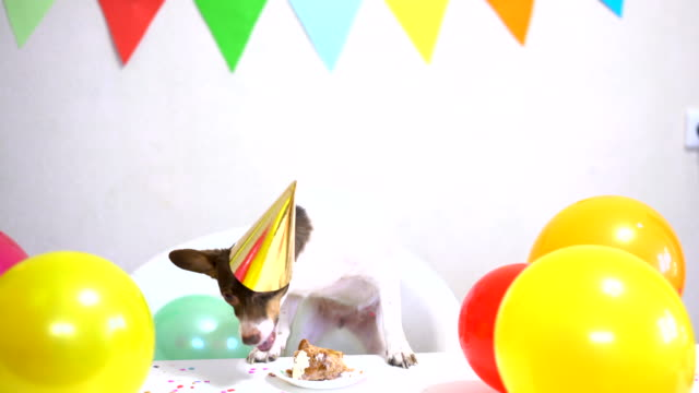 Cute small funny dog with a birthday cake and a party hat celebrating birthday Cute small funny dog in party hat with a birthday cake eating birthday cake celebrating his birthday. Dog birthday party. Domestic animal love and pampering concept. birthday background stock videos & royalty-free footage