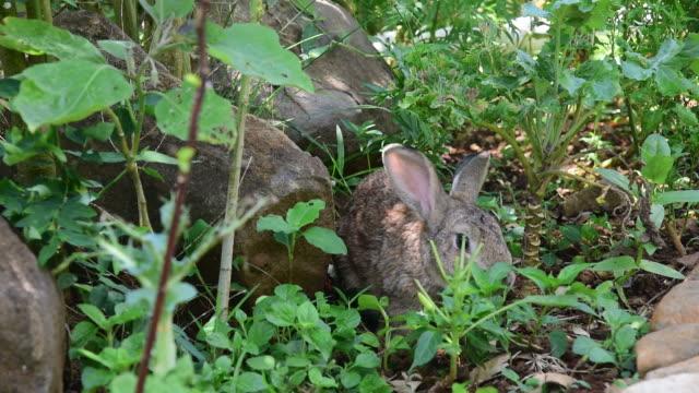 vidéos et rushes de gris joli petit lapin alimentation dans le jardin potager - apprivoisé