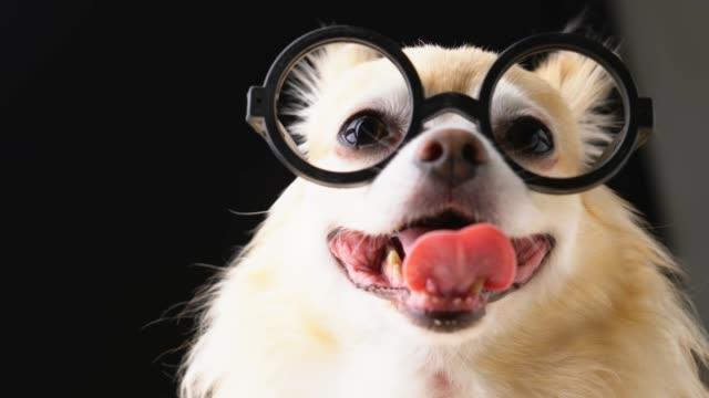 stockvideo's en b-roll-footage met schattig slim lang bruin haar chihuahua met zwarte bril nerd stijlvolle dark blackground - bril brillen en lenzen