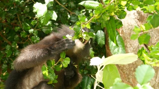 自然の生息地でアントン国立公園の緑の葉の中に木の枝にかわいい眼鏡の葉のラングール、ダスキーサル。絶滅危惧種の動物の野生動物。環境保全コンセプト - 自生点の映像素材/bロール