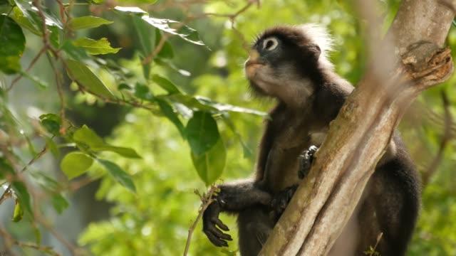 sevimli gözlüklü yaprak langur, doğal yaşam içinde ang thong milli parkta yeşil yaprakların ortasında ağaç dalı üzerinde esmer maymun. nesli tükenmekte olan hayvan türlerinin vahşi yaşamı. çevre koruma kavramı - makak maymunu stok videoları ve detay görüntü çekimi