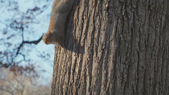 cute squirrel is climbing with clam and peaceful on pine tree in central park nature background concept