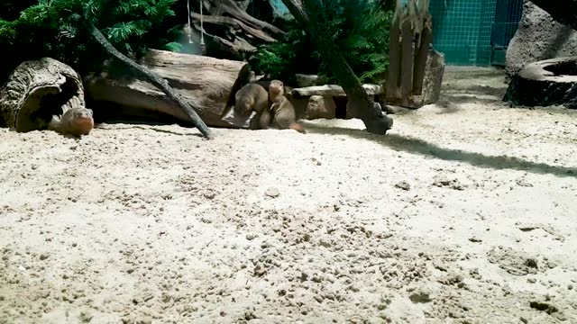 Cute startled groundhogs running around fast to hide from tourists in the zoo. Cute startled groundhogs running around fast to hide from tourists in the zoo. Curious wild animals unhappy in captivity. Watching captive squirrels indoors. groundhog day stock videos & royalty-free footage