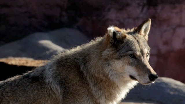 Cute sunlit wolf female with bitten ear off, attentively looking around.