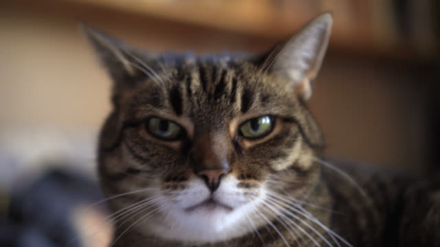 Cute tabby cat video
