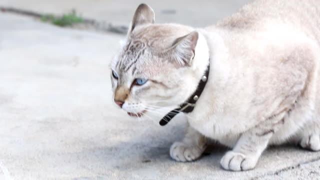 vídeos y material grabado en eventos de stock de gato tailandés lindo - vibrisas