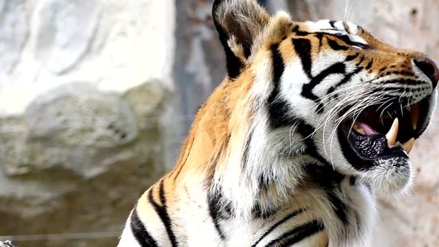 Niedlichen Tiger in der Natur – Video