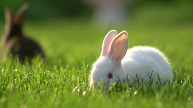 Cute White And Gray Cottontail Bunny Rabbit Munching Grass In The Garden Video